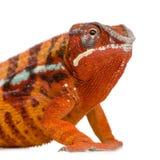 Chameleon Furcifer Pardalis - Sambava (2 years) Royalty Free Stock Images
