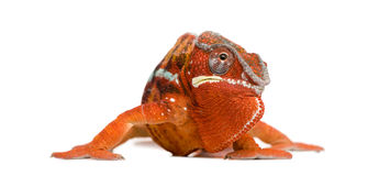 Chameleon Furcifer Pardalis - Sambava (2 years) Royalty Free Stock Images