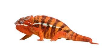 Chameleon Furcifer Pardalis - Sambava (2 years) Royalty Free Stock Image