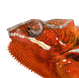 Chameleon Furcifer Pardalis - Sambava (2 years) Stock Images