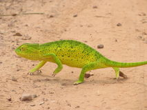 Chameleon in Gambia. This chameleon was walking on the road in Gambia. I stopped the car and jumped out to make the picture stock images