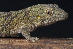 Chameleon gecko stock image