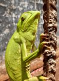 Chameleon Ghana Fotos de Stock Royalty Free