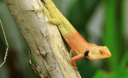The chameleon gold in the garden. Royalty Free Stock Photo