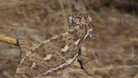 Chameleon grasshopper hunting stock video