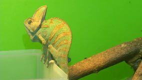 Chameleon on a green background. 3 Shots. 1. Portrait of a chameleon. Muzzle and body part close-up. 2. Chameleon sits on a plastic box next to a branch. 3 stock video