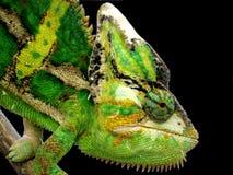 Chameleon. Green chameleon with black background Stock Image