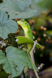 Chameleon in green bushes Stock Image