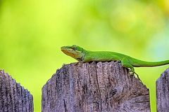 Chameleon. Green camouflage royalty free stock photo