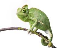 Chameleon. Green chameleon - Chamaeleo calyptratus on a branch Royalty Free Stock Photo