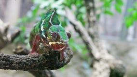 Chameleon stock video footage