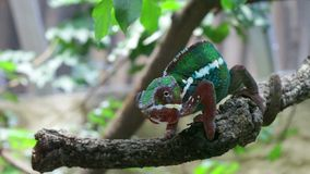 Chameleon. Green chameleon on the green grass stock video footage