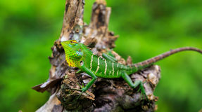 Chameleon with green head Stock Photography