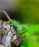 Chameleon with green head Stock Images