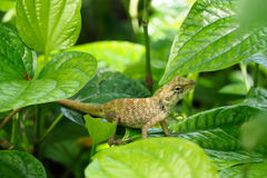 Chameleon on green leaf. Royalty Free Stock Photos