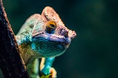 Chameleon. A green chameleon peering from behind a branch stock images
