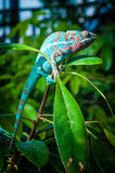 Chameleon on a green plant branch Stock Image