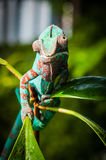 Chameleon on a green plant branch Royalty Free Stock Photos