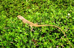 Chameleon on green tree. Close up chameleon on green tree Royalty Free Stock Image