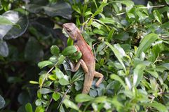 Chameleon on green tree. Close up chameleon on green tree Royalty Free Stock Images