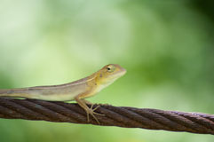 Chameleon on greenbackground. Close up green Chameleon take sling Royalty Free Stock Image