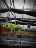 Chameleon in a Greenhouse stock image