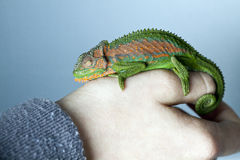 Chameleon on a hand. Chameleon on a human hand Royalty Free Stock Photos