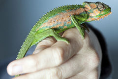 Chameleon on a hand. Chameleon on a human hand Stock Images