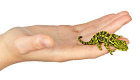 Chameleon on hand Royalty Free Stock Images