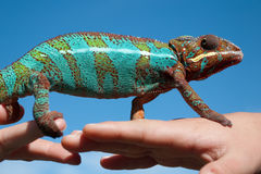 Chameleon on a hand Royalty Free Stock Photography