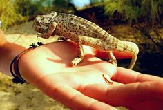 Chameleon in hand. Camaleon of the province of Huelva spain Stock Photography