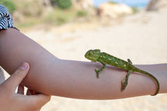 Chameleon on hand Stock Photos
