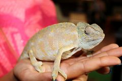 Chameleon on a hand Stock Photo