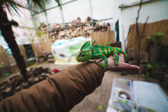 Chameleon on hand. Chameleon sitting on a hand Royalty Free Stock Photo