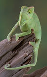 Chameleon hanging onto branch. A baby veiled chameleon is hanging on to a dead branch Stock Images