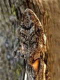 Chameleon Head Stock Photos