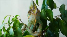 Chameleon hiding in the leaves. Chameleon on a tree branch stock video