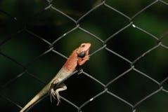 Chameleon Stock Photography