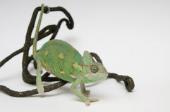 Chameleon holding branch by tail Stock Images
