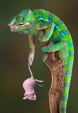 Chameleon holding rat Royalty Free Stock Images
