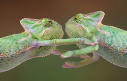 Chameleon hug. Two veiled chameleon babies are embracing each other Stock Images