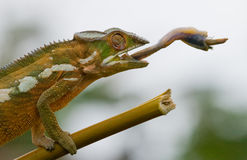 Chameleon at hunt insect. Long tongue chameleon. Madagascar. Close-up. Stock Photography