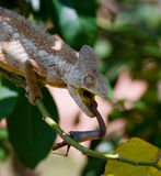 Chameleon at hunt insect. Long tongue chameleon. Madagascar. Close-up. Royalty Free Stock Images
