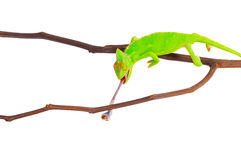 Chameleon hunting a cockroach Royalty Free Stock Photography