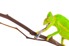 Chameleon hunting a cockroach Royalty Free Stock Images