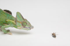 Chameleon hunting - view from right side Stock Photography
