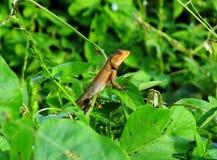 Chameleon. I am lonely Royalty Free Stock Photo