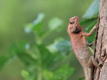 Chameleon image | climbing on tree stock photos