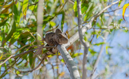 Free Chameleon In Madagascar Stock Photo - 49500260