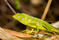 Chameleon in Indonesia. Photo taken at Jember, East Java, Indonesia Royalty Free Stock Images